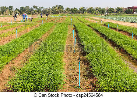 Pictures of Ipomoea aquatica plant field on ground in garden.