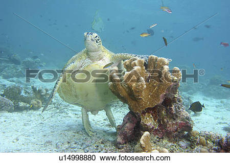 Stock Photography of water sea turtle underwater standing aqueous.