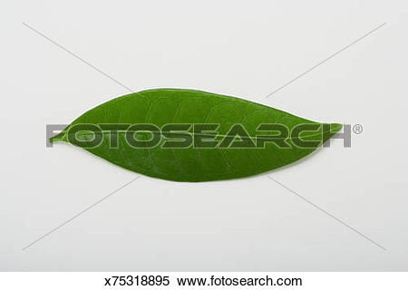 Stock Image of Leaf of Money Tree (Pachira Aquatica) , studio shot.