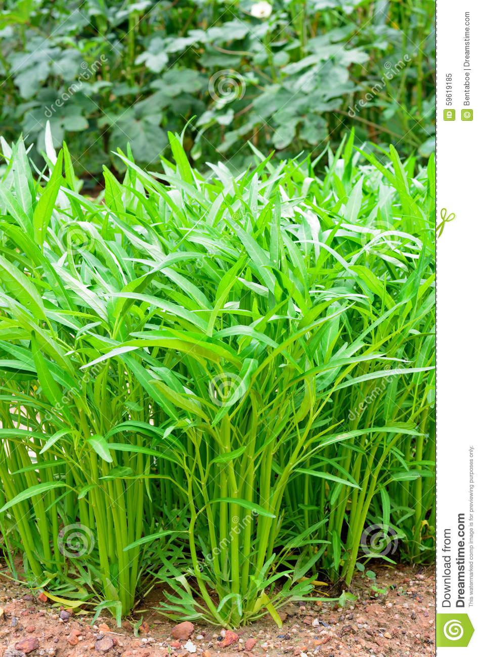 Ipomoea Aquatica Trees In Vegetable Garden Stock Photo.
