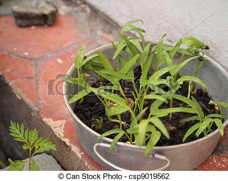 Stock Photo of Water Spinach in pot;Ipomoea aquatica csp9019562.