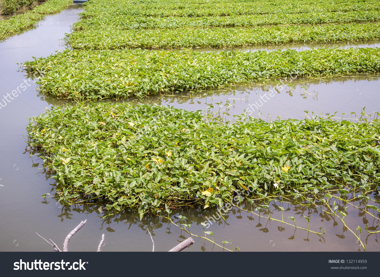 Convert Swamp Cabbage Swamp Cabbage White Stock Photo 132114959.