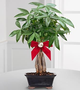The Feng Shui Money Plant: A Popular Wealth Cure.