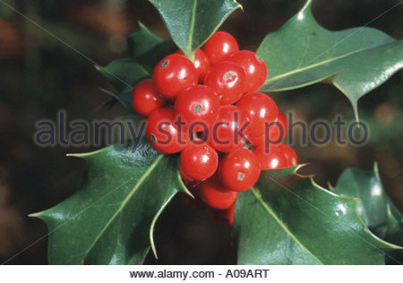 Aquifoliaceae Stock Photos & Aquifoliaceae Stock Images.