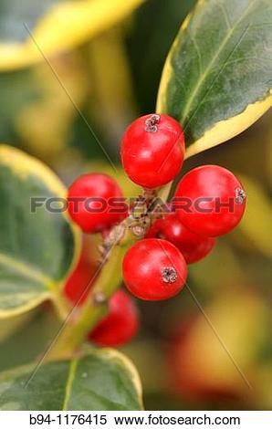 Stock Image of Fruits of Holly. Ilex aquifolium L. Fam.