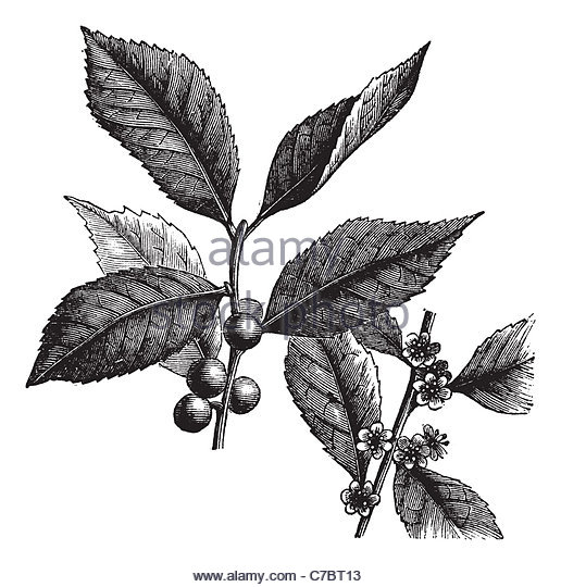 Aquifoliaceae Cut Out Stock Images & Pictures.