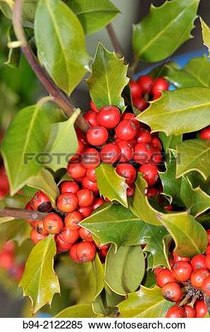 Stock Image of Fruits and leaves of Holly. Ilex aquifolium L. Fam.