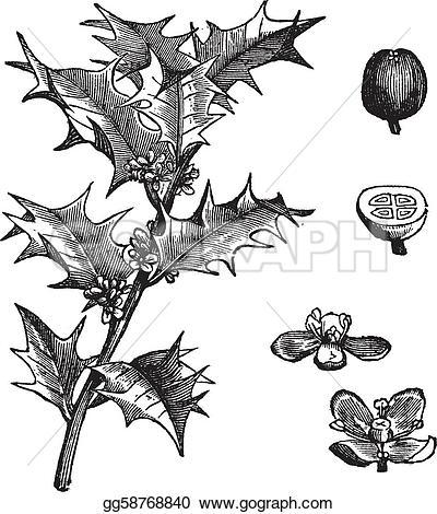 Aquifolium Clip Art.