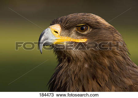 Stock Photo of Steppe Eagle (Aquila nipalensis), portrait of adult.