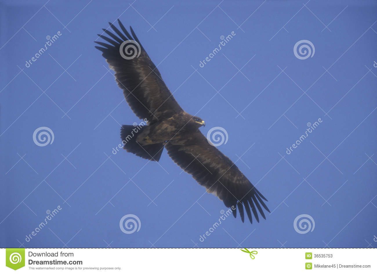 Steppe Eagle, Aquila Nipalensis, Stock Photos.