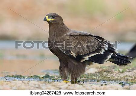 Pictures of Steppe Eagle (Aquila nipalensis), juvenile, Salalah.