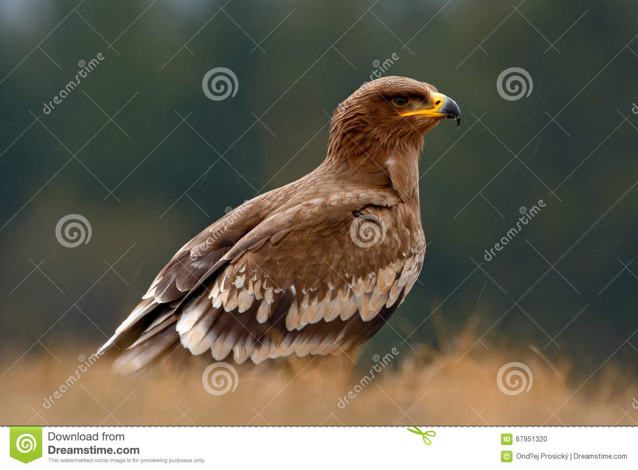 Steppe Eagle, Aquila Nipalensis, Bird Of Prey Sitting In The Grass.