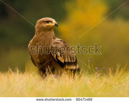 Aquila Nipalensis Stock Photos, Royalty.