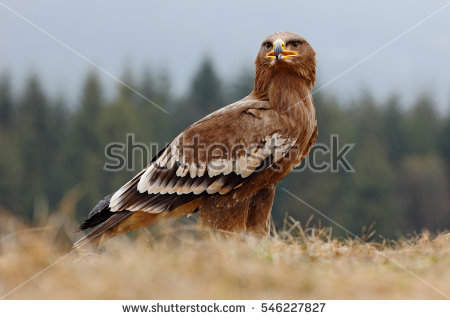 Aquila Stock Photos, Royalty.