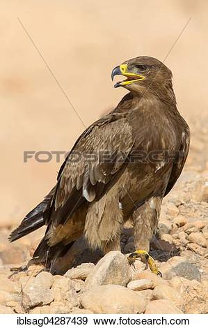 Stock Photograph of Steppe Eagle (Aquila nipalensis), on the.