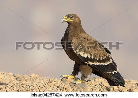 Stock Photo of Steppe Eagle (Aquila nipalensis), juvenile, on the.