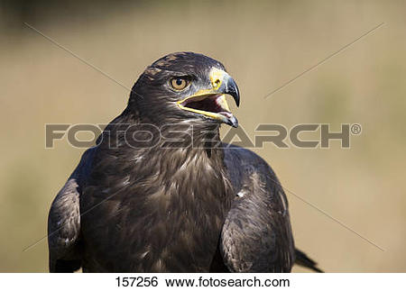 Stock Images of Steppe Eagle / Aquila nipalensis 157256.