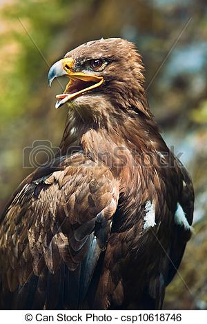 Stock Photo of The Steppe Eagle (Aquila nipalensis).