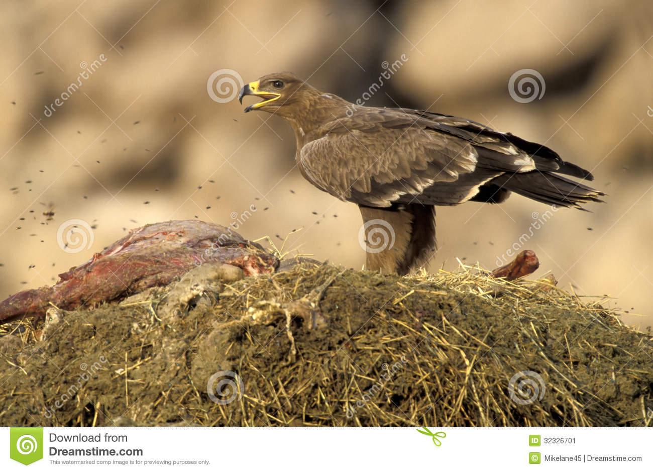 Steppe Eagle, Aquila Nipalensis Stock Image.