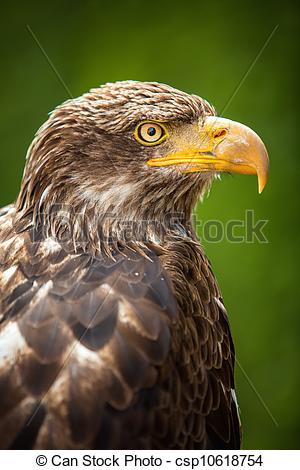 Stock Images of The Steppe Eagle (Aquila nipalensis).