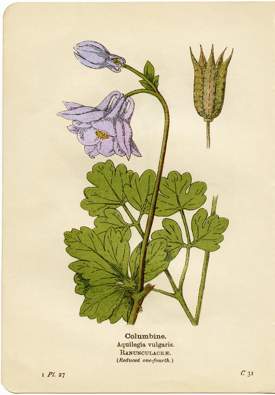 Columbine flower, aquilegia vulgaris, purple flower printable.