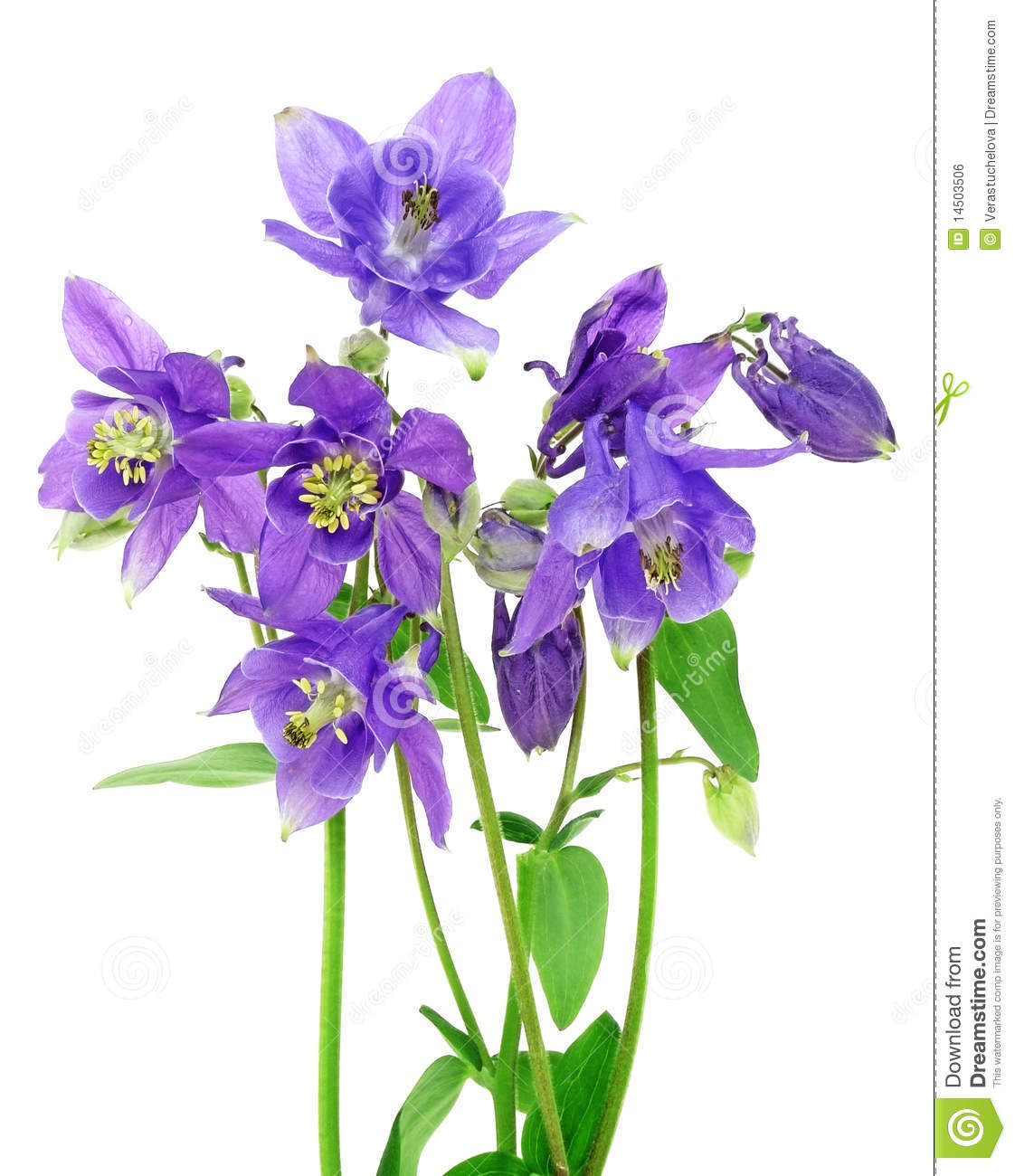 Gallery For > Colorado Columbine Clipart.