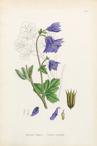 Aquilegia Clip Art, Vector Images & Illustrations.