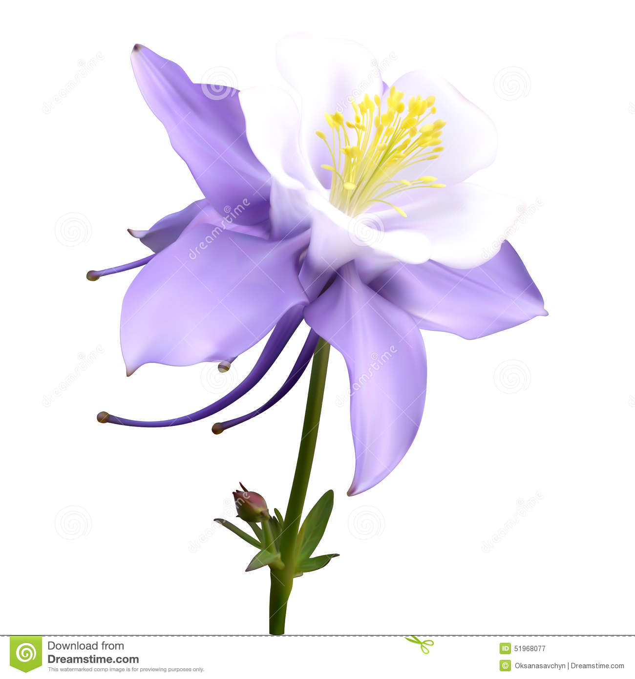 Aquilegia Stock Illustrations.