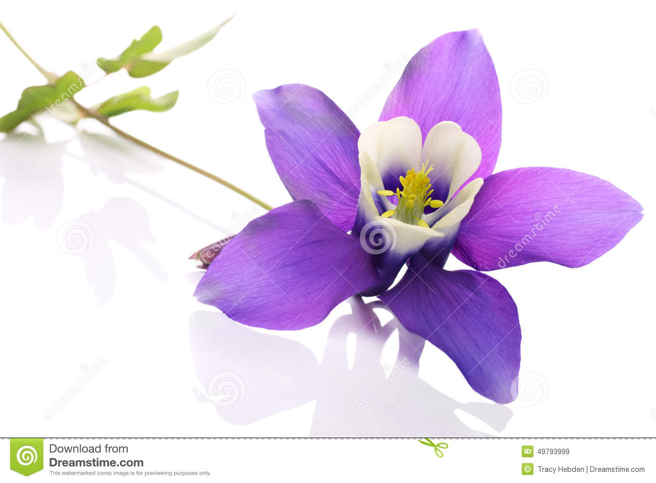 Columbine Stock Images.