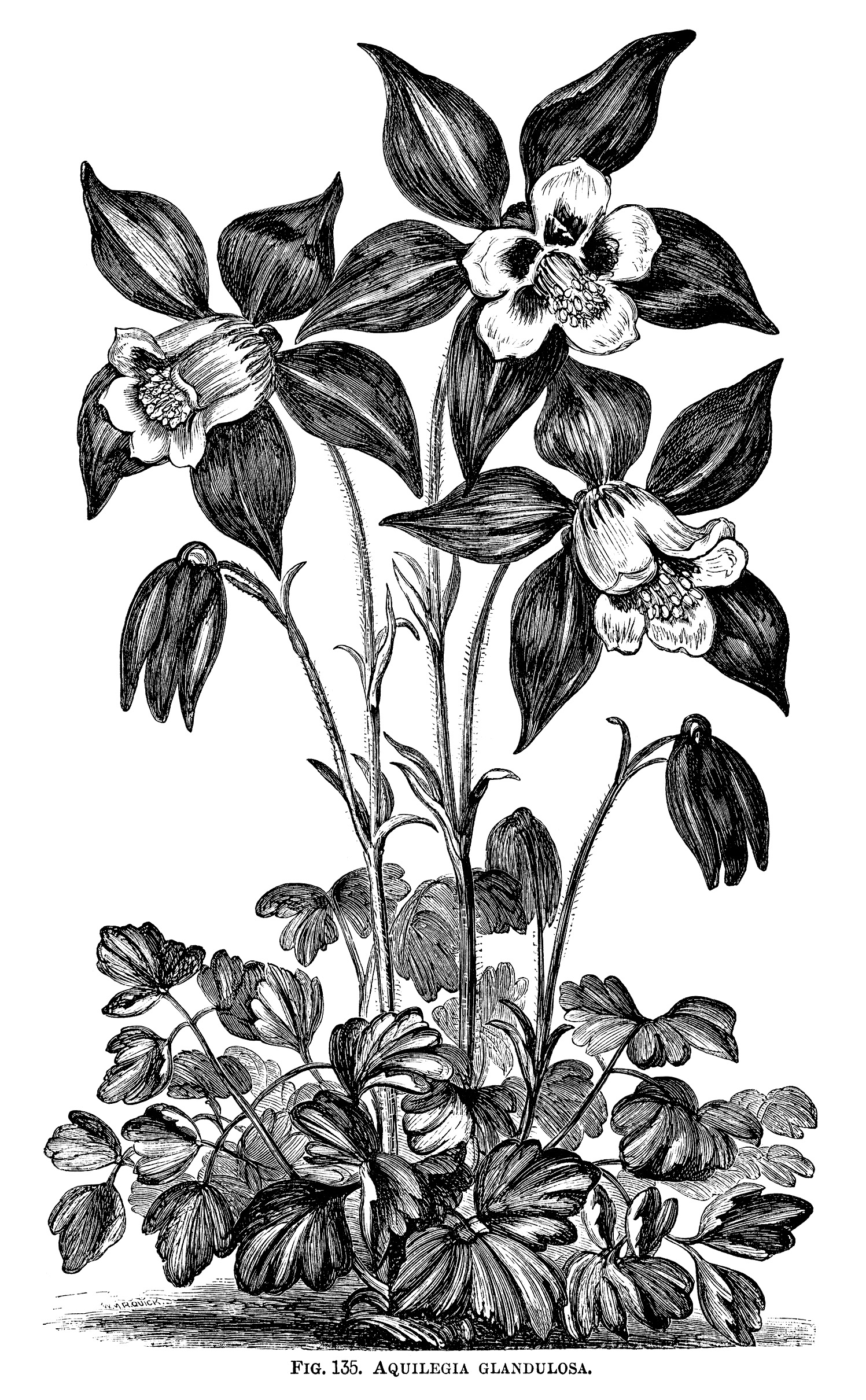 Aquilegia Glandulosa Flower Free Vintage Clip Art Old Design Shop.