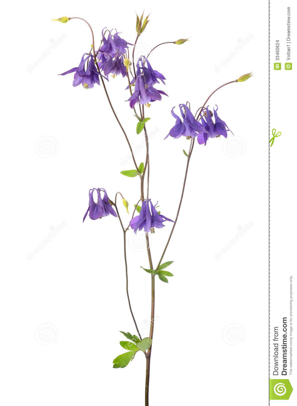 Aquilegia Vulgaris Flower Stock Images.