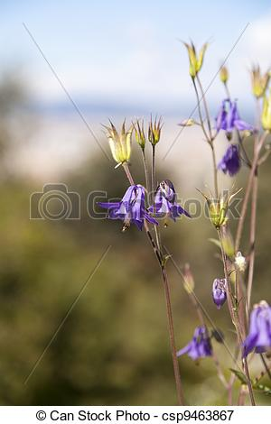 Picture of Aquilegia vulgaris is a herbaceous perennial that.