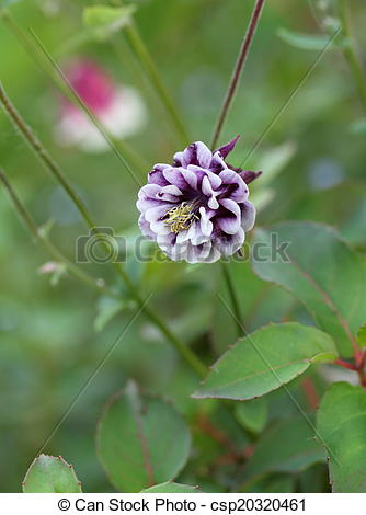 Stock Image of Aquilegia vulgaris.