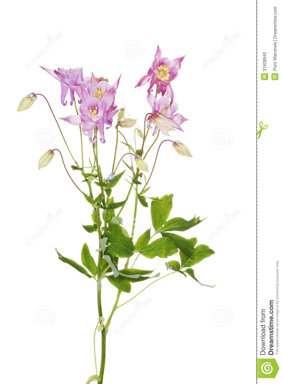 Aquilegia Vulgaris Stock Photo.