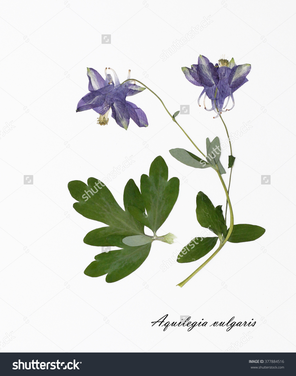 Aquilegia Vulgaris Columbine Picture Dried Flowers Stock Photo.