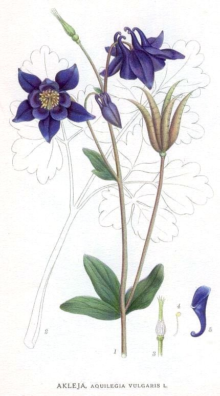 Aquilegia vulgaris illustration.