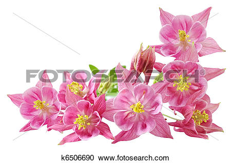 Stock Photography of Aquilegia Vulgaris Columbine k6506690.