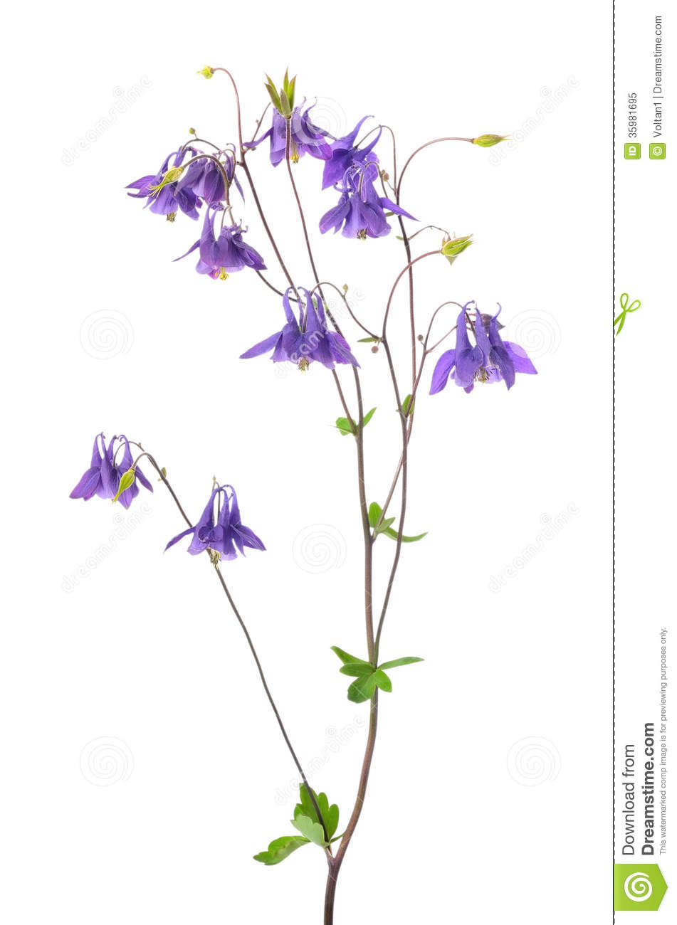 Aquilegia Vulgaris Flower Royalty Free Stock Photo.