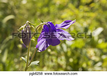 Pictures of Aquilegia vulgaris. Columbine. Flower and bud in.
