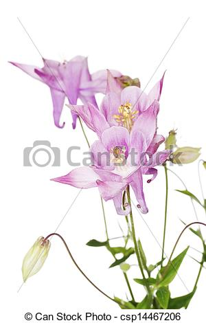 Stock Photography of Aquilegia vulgaris (European Columbine.