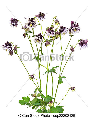 Stock Photo of Aquilegia vulgaris flowers on white background.