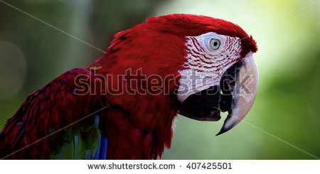 Ara Green Macaw Winged Chloropterus Stock Photos, Royalty.