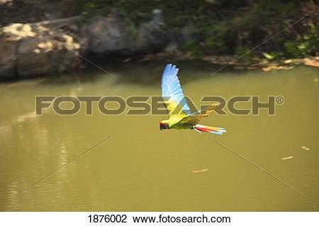 Stock Photo of Roatan, Bay Islands, Honduras; Green Macaw (Ara.