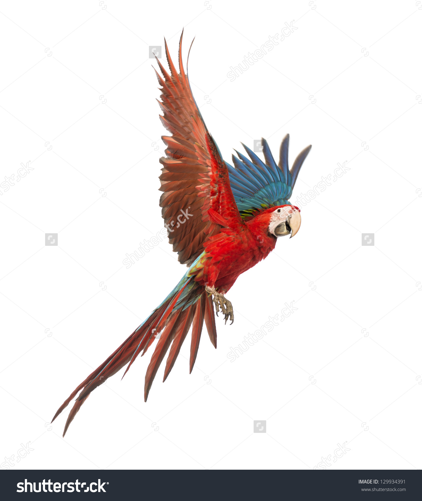 Greenwinged Macaw Ara Chloropterus 1 Year Stock Photo 129934391.