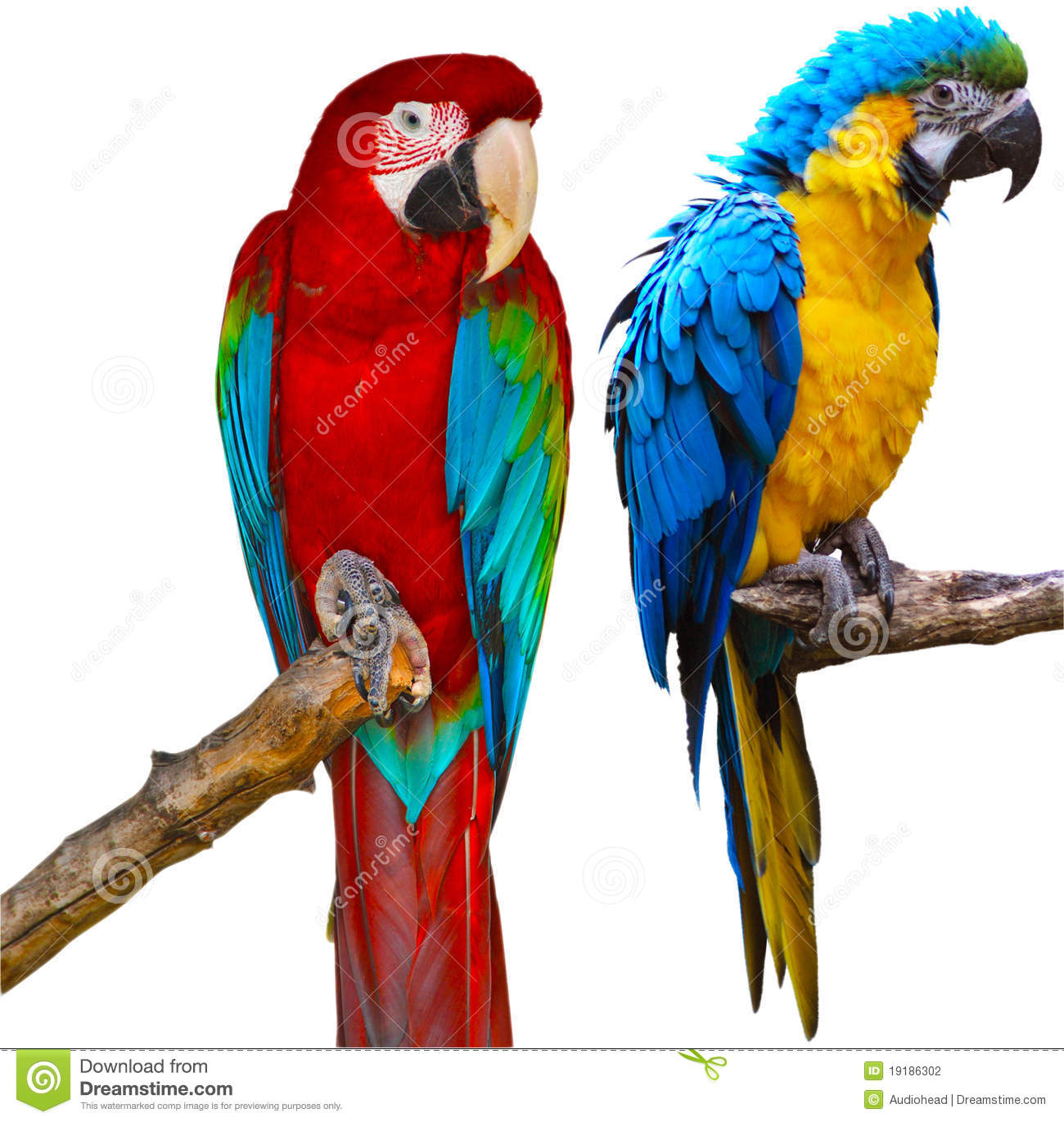 Ara Parrots Stock Photography.
