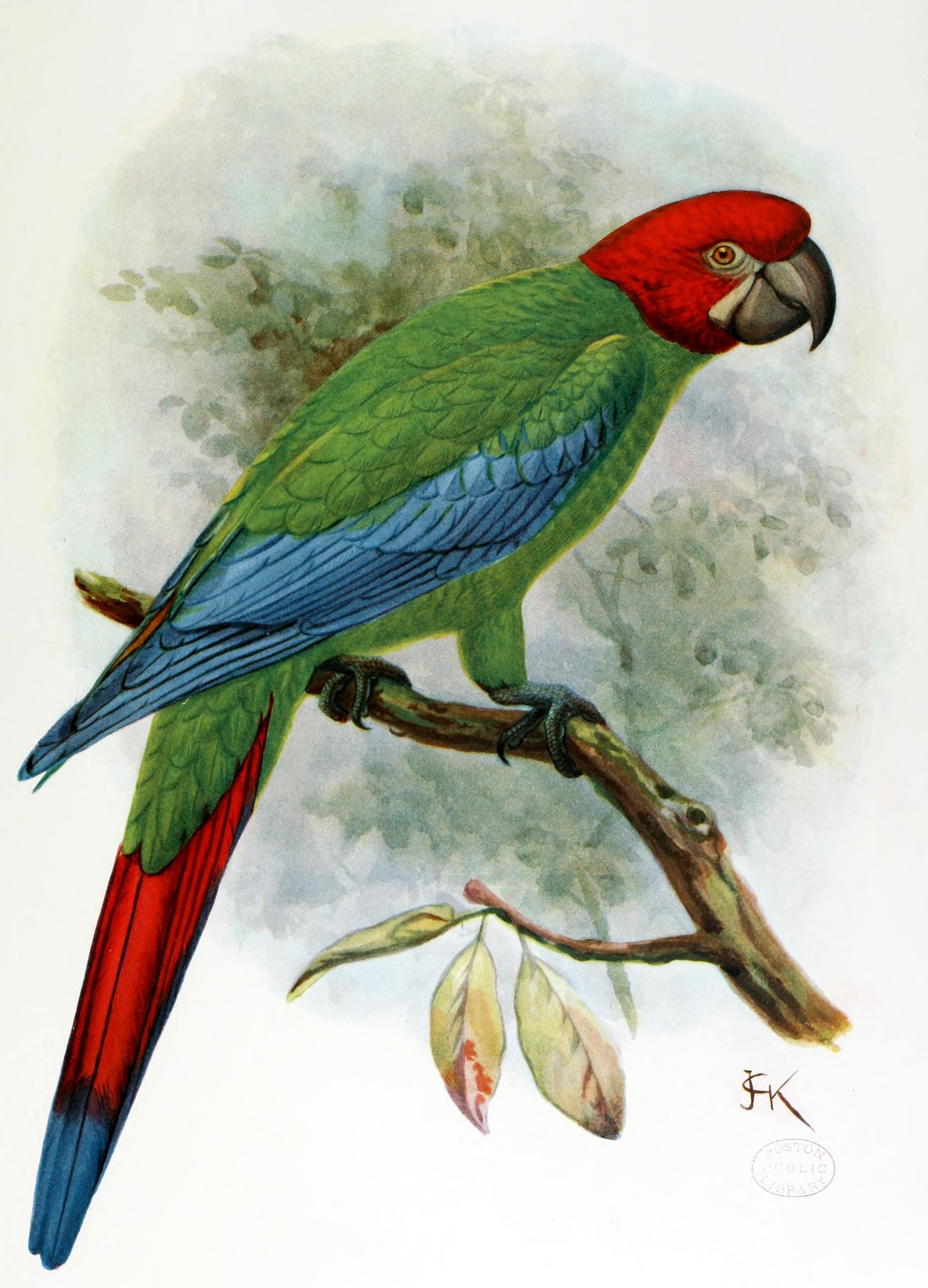 Ara erythrocephala Gosse, 1847.