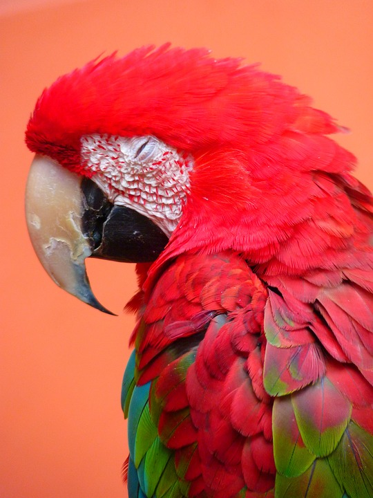 Free photo: Red Ara, Ara Erythrocephala, Parrot.
