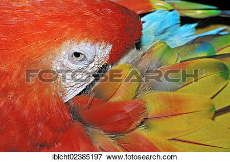 "Picture of ""Scarlet Macaw (Ara macao), native to South America, in."
