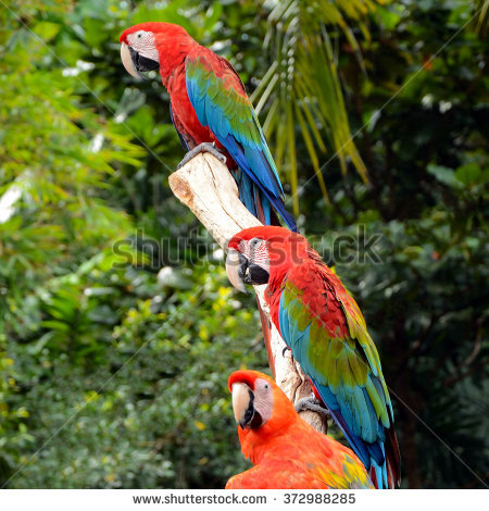 Scarlet Macaw Ara Macao Large Red Stock Photo 372988303.