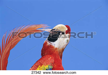 Stock Photo of Scarlet macaw.